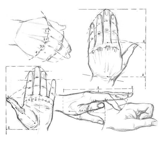 Proportions of hands of the person
