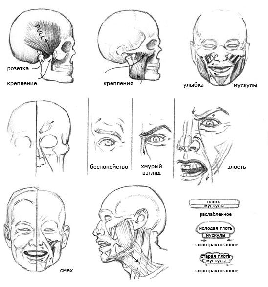 Anatomy in drawing of the head