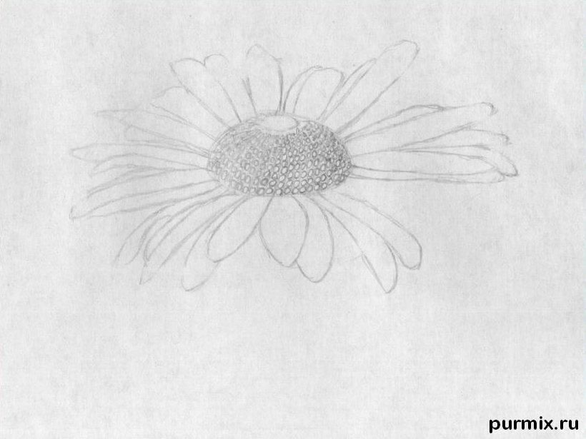 As it is simple to draw a camomile on paper with a pencil step by step 4