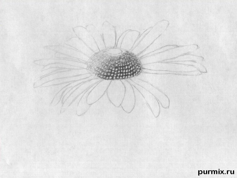 As it is simple to draw a camomile on paper with a pencil step by step 5