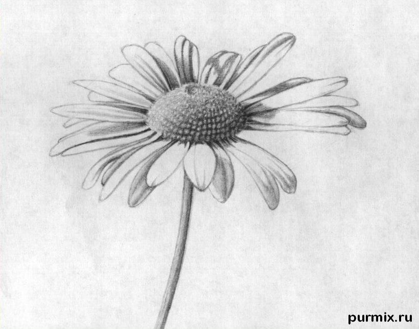 As it is simple to draw a camomile on paper with a pencil step by step 8