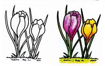 How to draw a flower a crocus with a pencil step by step