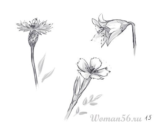 How to draw flowers: cornflower, hand bell and field carnation pencil step by step
