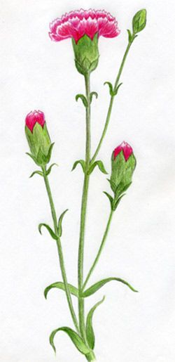 How to draw Carnations with a pencil step by step
