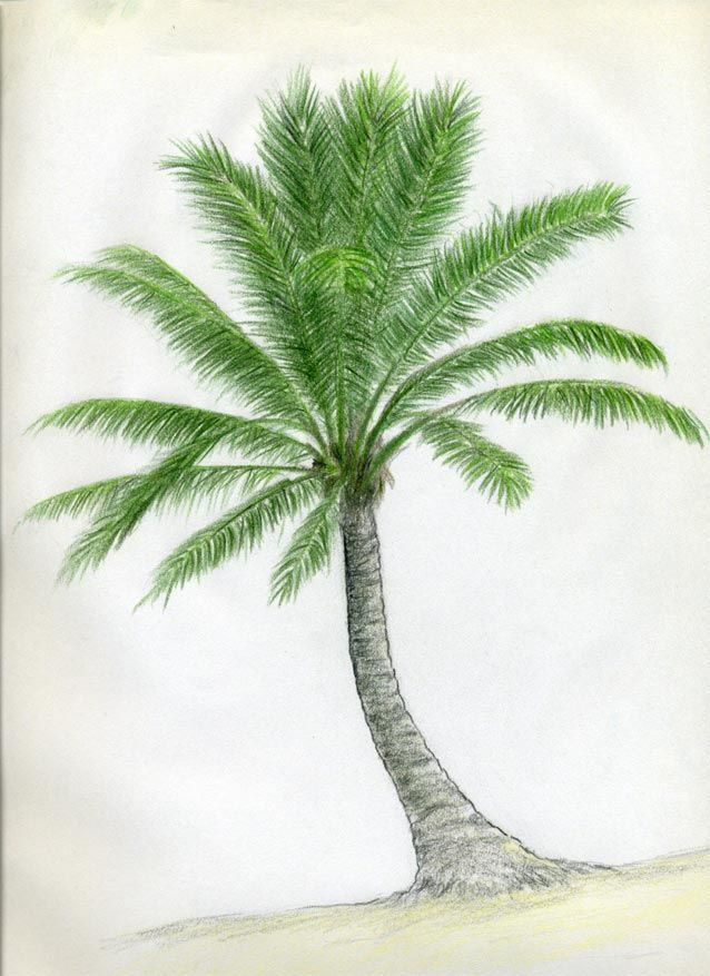 How to draw a coconut palm tree with a pencil step by step