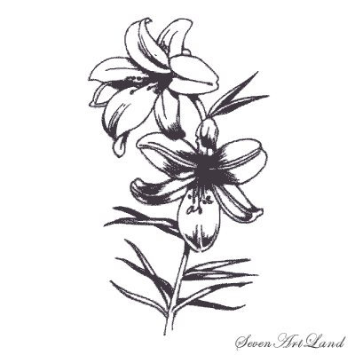 How to draw white Lilies with a pencil step by step