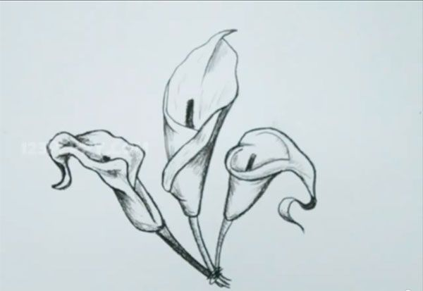 How to draw callas with a pencil step by step