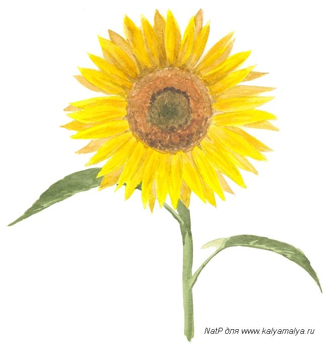 We learn to draw the Sunflower