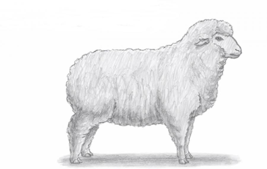 How to draw a sheep with a simple pencil on paper