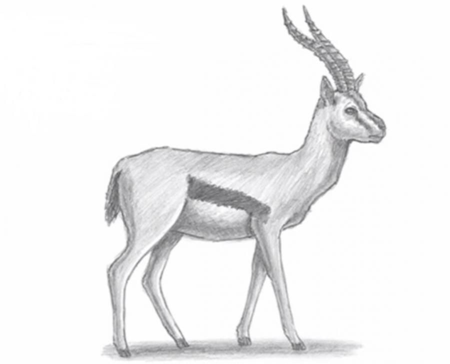 How to learn to draw a gazelle a simple pencil on paper