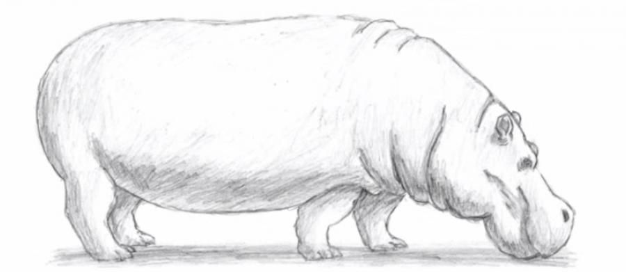 How to learn to draw a hippopotamus a simple pencil step by step