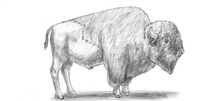 How to draw a bison with a simple pencil step by step