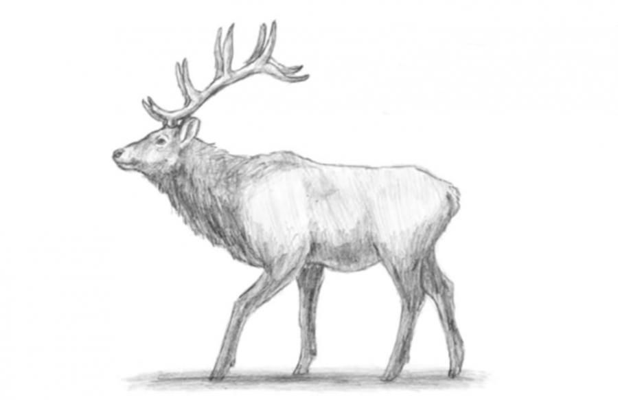 How to draw an elk with a simple pencil step by step