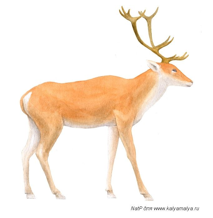 How to draw the Deer poetano
