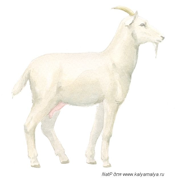 We learn to draw a goat