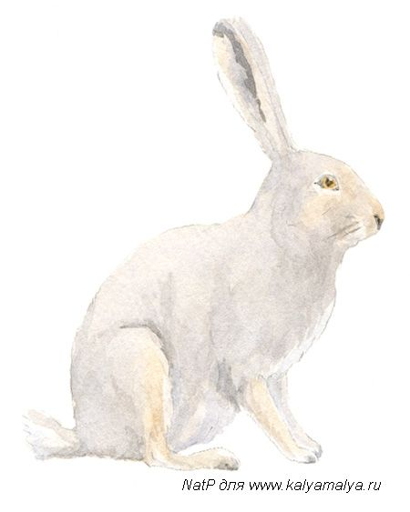 We draw a hare a pencil step by step