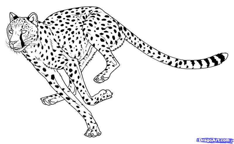 How to draw the Cheetah in run with a pencil step by step