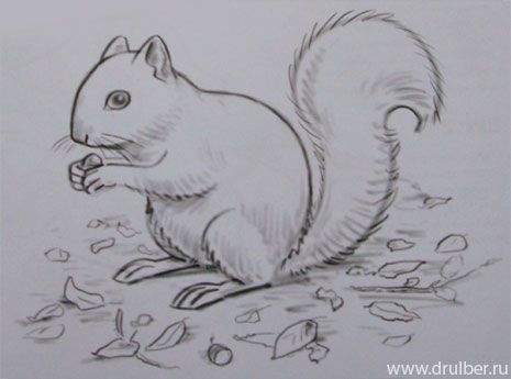 How to draw the Squirrel with a pencil step by step