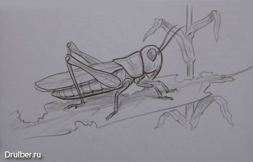How to draw the Grasshopper with a pencil step by step
