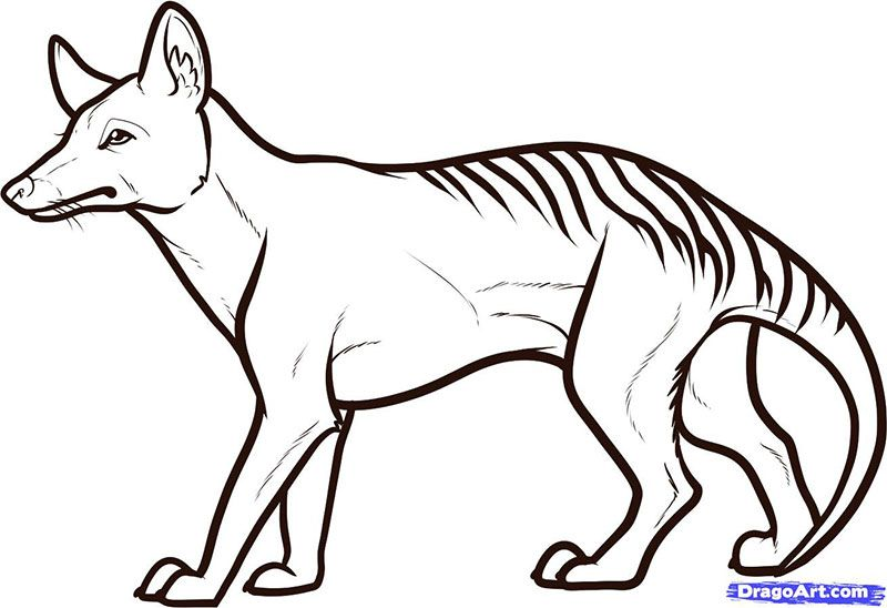 How to draw a Tasmanian tiger with a pencil step by step