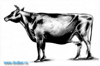 How to draw a cow with a pencil step by step