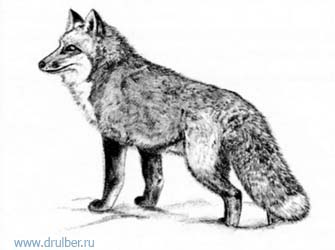 How to draw a fox with a pencil step by step