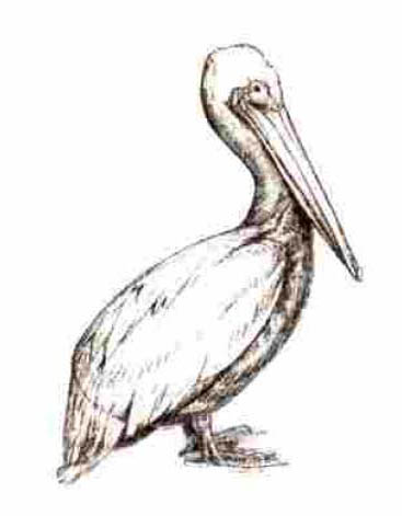 How to draw a pelican with a pencil on paper step by step