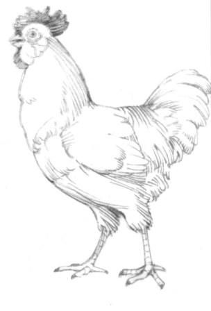 How to draw the Rooster with a pencil step by step