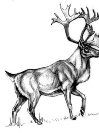 How to draw a forest Canadian deer with a pencil step by step