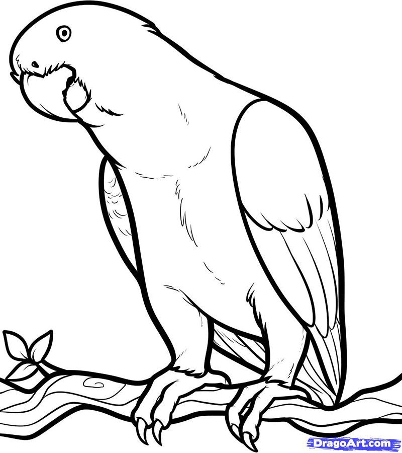 How to draw a gray African parrot with a pencil step by step