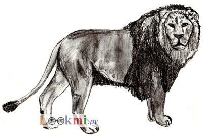 How to draw on lion paper with a pencil step by step