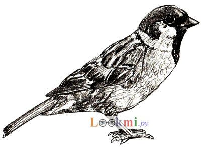 How to draw a sparrow on paper with a pencil step by step