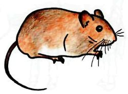As it is simple to draw a field mouse with a pencil step by step