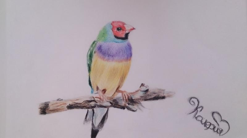 How to draw Guldov Amadin's bird with colored pencils