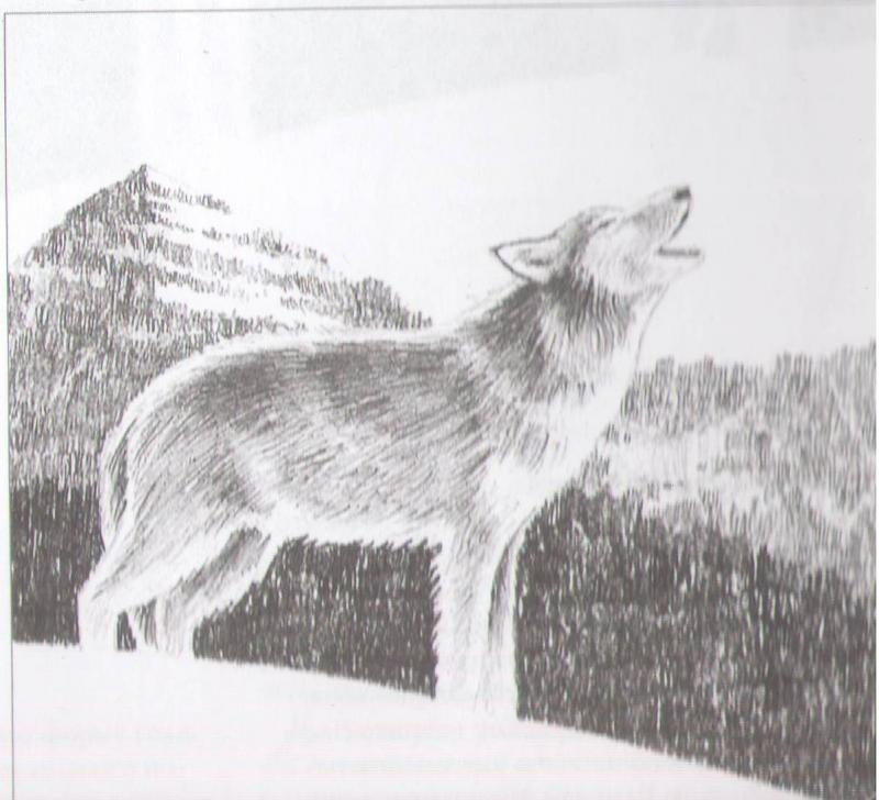 How to draw the howling wolf with a pencil step by step
