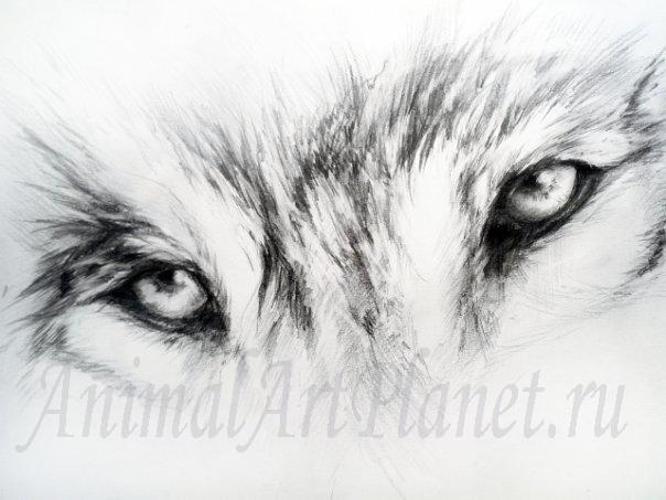 How to draw a look of a wolf with a simple pencil step by step