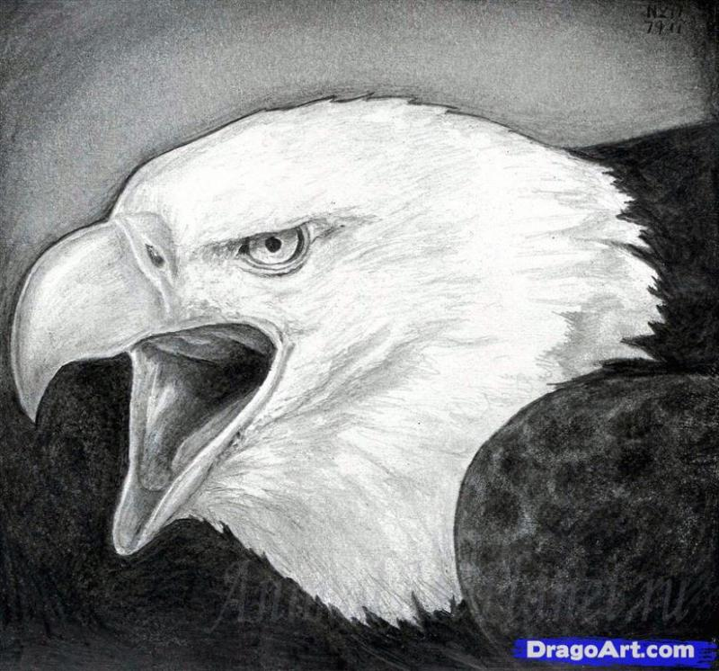 As it is correct to draw a white-headed sea eagle with a pencil