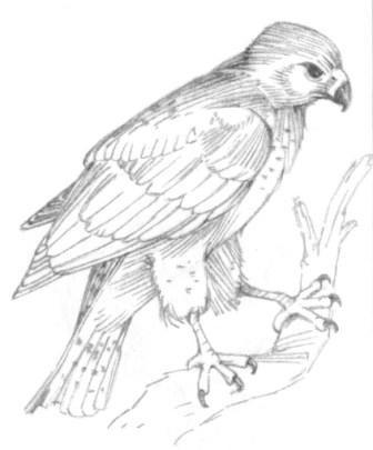 How to draw an eagle on a branch with a pencil step by step