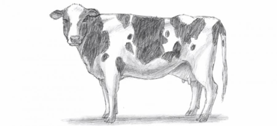 We learn to draw a cow a simple pencil step by step