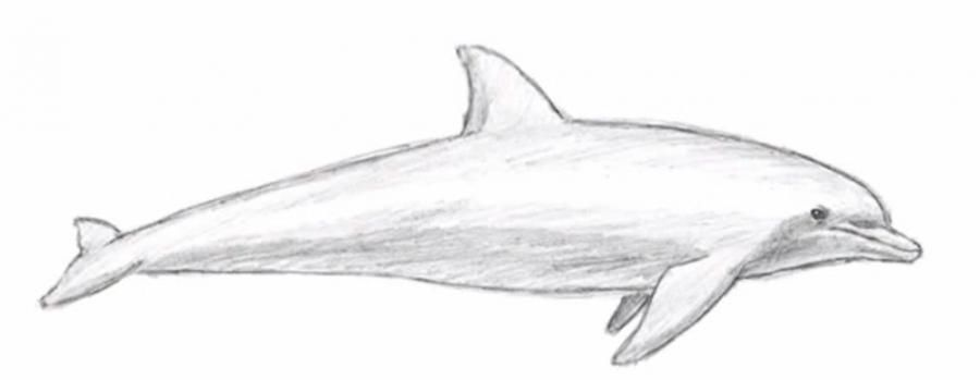 How to learn to draw a dolphin a simple pencil