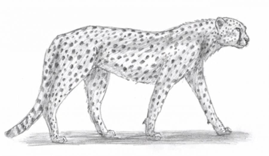 How to learn to draw a cheetah a simple pencil