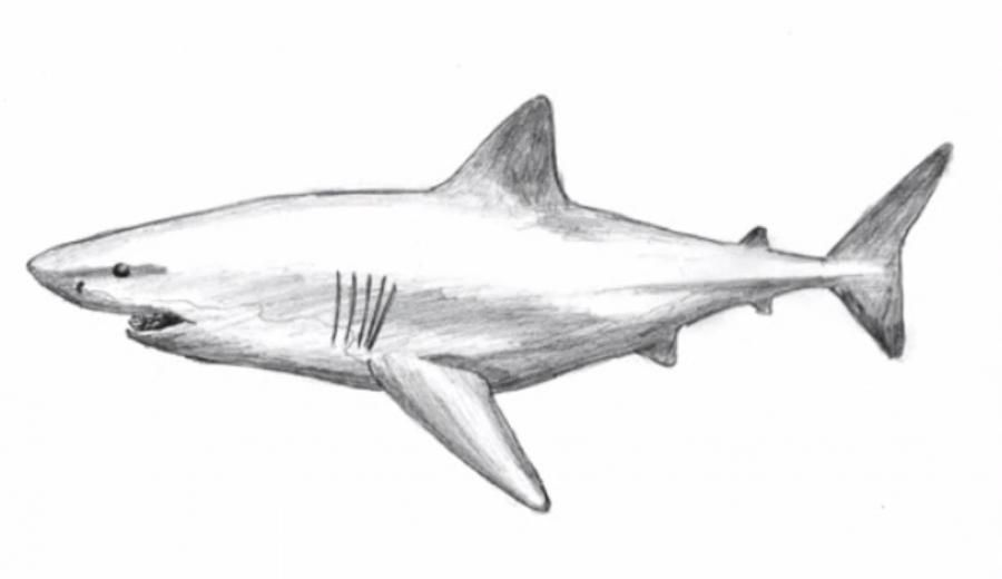 How to learn to draw a shark a pencil on paper step by step