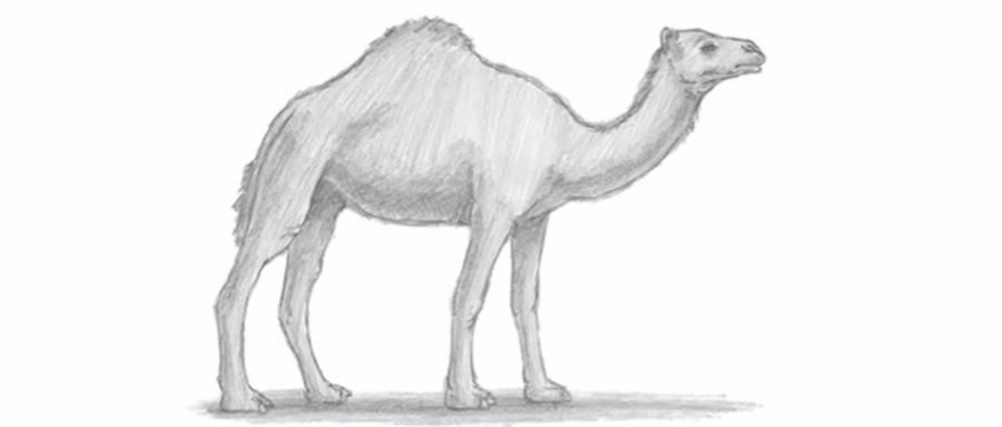 How to learn to draw a camel a pencil step by step