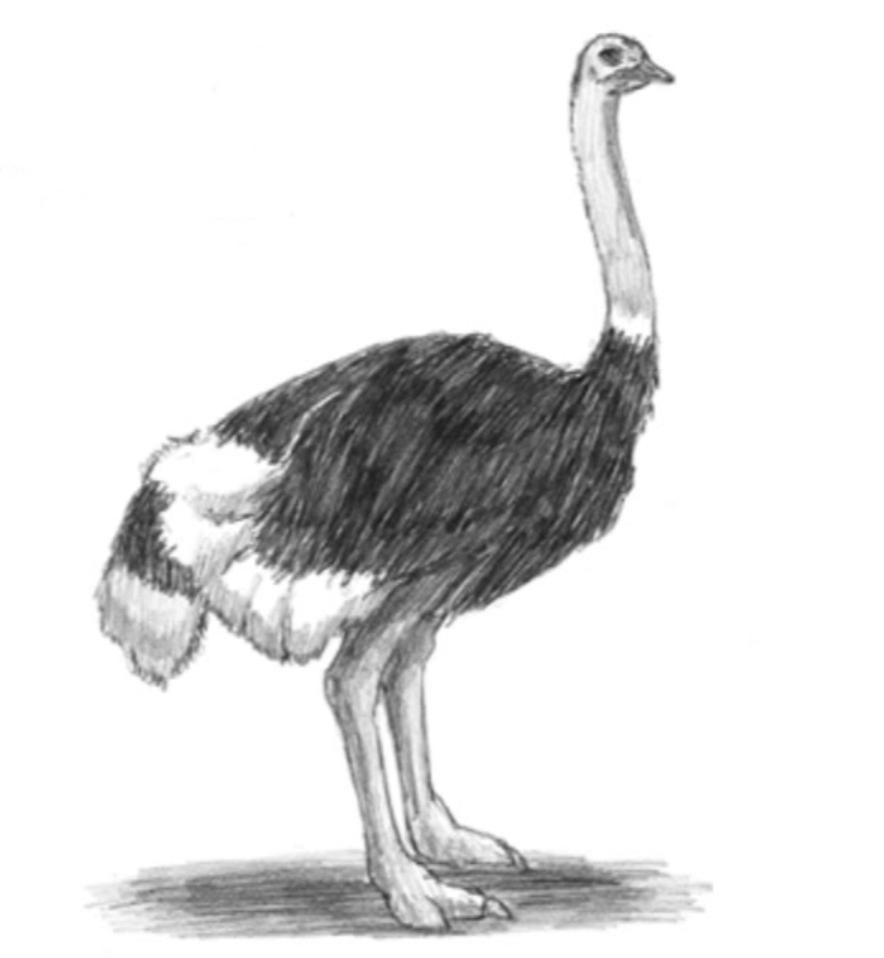 How to learn to draw an ostrich a simple pencil step by step