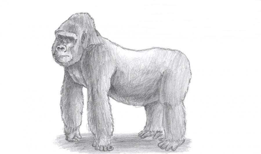 How to draw a gorilla with a simple pencil step by step