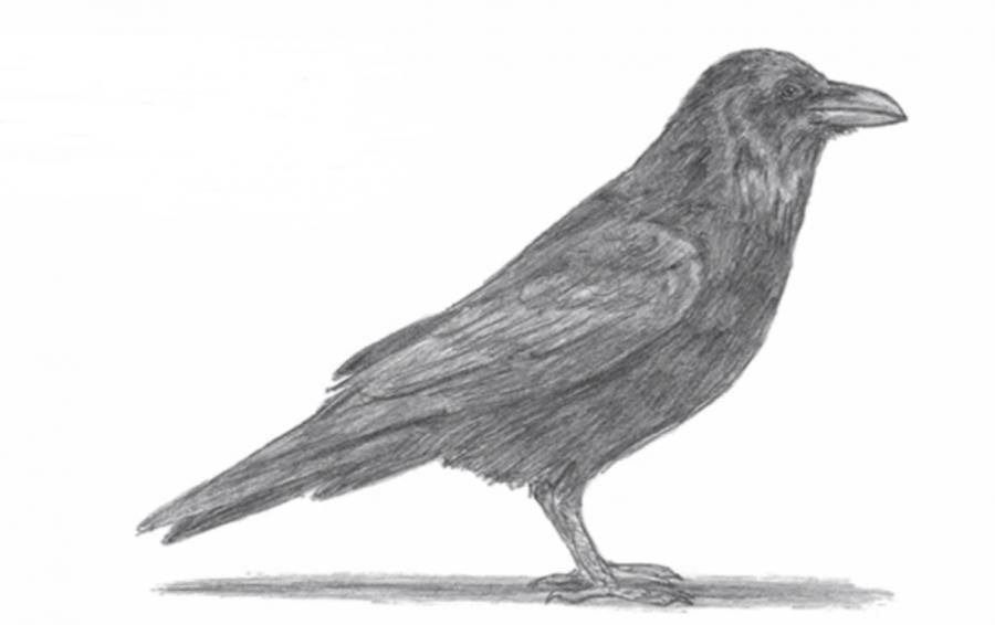 We learn to draw a crow a simple pencil step by step