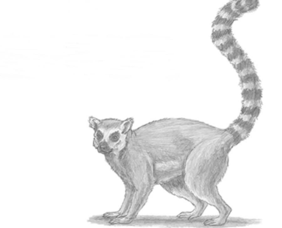 How to learn to draw a lemur a simple pencil step by step