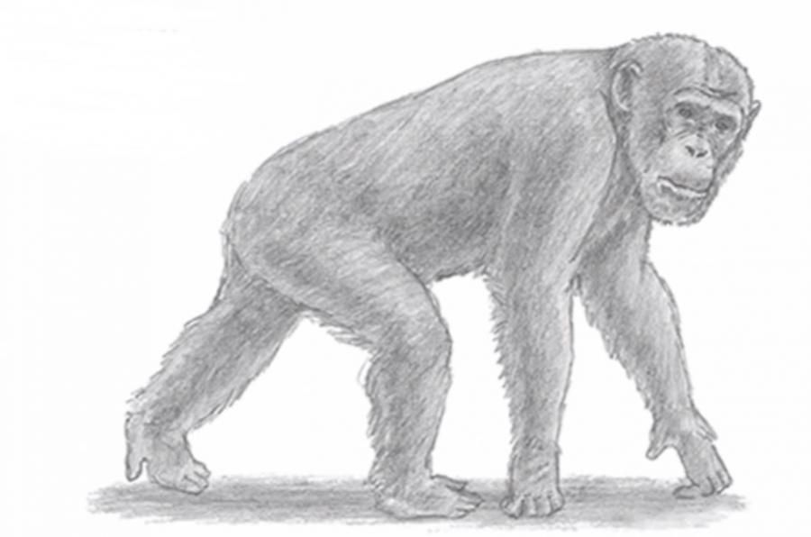 We learn to draw a chimpanzee a simple pencil step by step