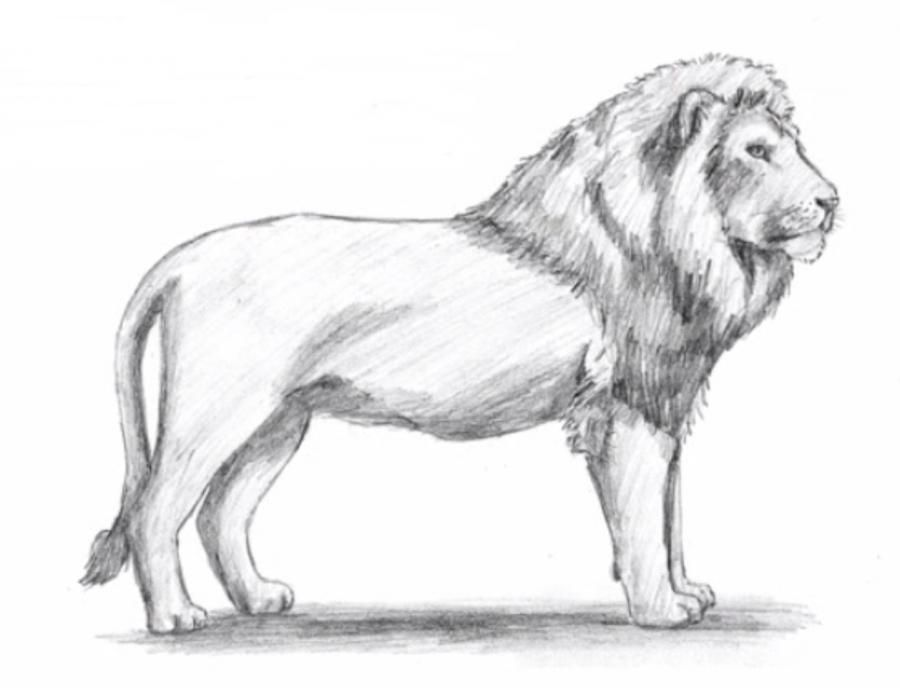 How to learn to draw a lion a simple pencil step by step