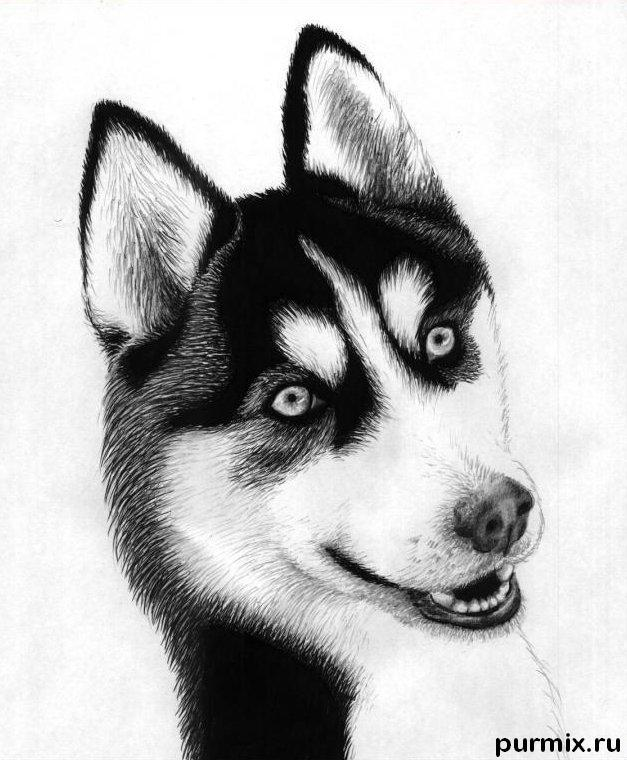 How to draw a Siberian Huskies with a simple pencil